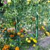 Les tomates de 2012  après le mildiou...beaucoup de chance...