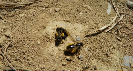 Les abeilles-de-terre dans notre potager en Septembre 2019
