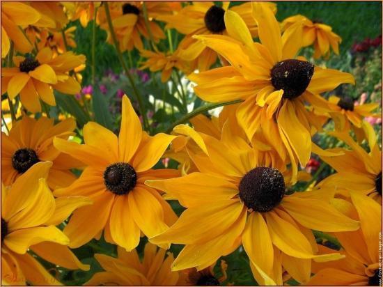 Rudbeckia-Belle fleur...2010