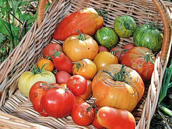 Tomates du jardin août 2011