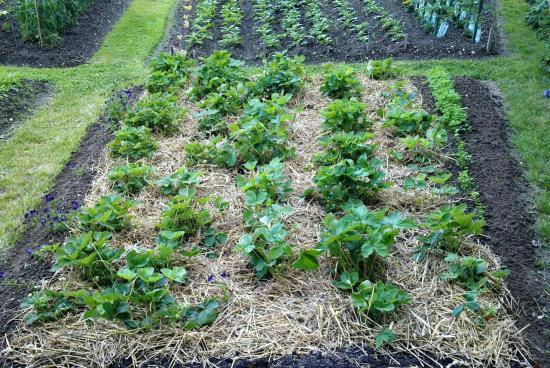 Les fraises -Juin 2012