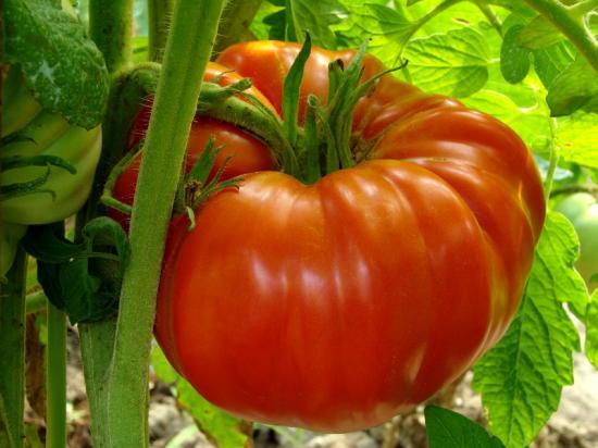 Une tomate supersteak sur grappe....