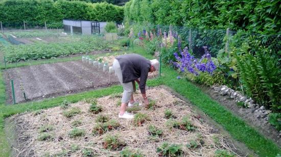La cueillette des fraises en Juin 2014