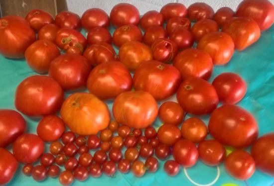 C'est le top...les tomates 2017....super.